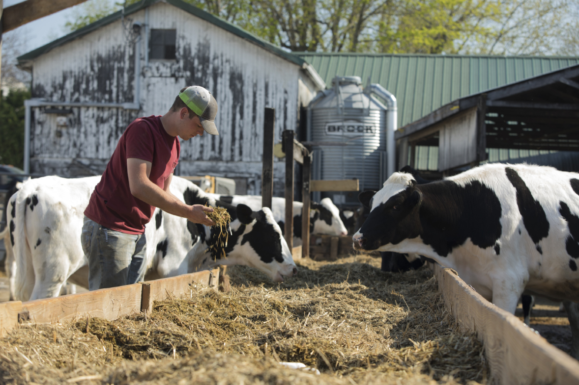 Liam Coyne feeding cows at Coyne Farms
